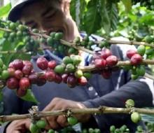 Se planifica la creación del Instituto Mexicano del Café