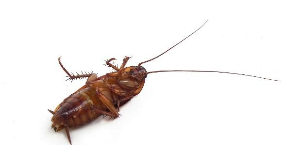 Come cucarachas para ganar un viaje