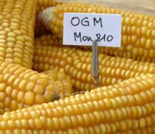 Levantan la prohibición a la siembra de maíz transgénico