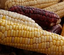 Más voces expertas contra el maíz transgénico