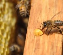 Avances en la apicultura mexicana