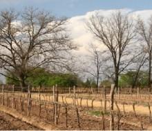 El vino mexicano, en auge